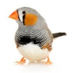 Zebra Finch study correlates telomere length in early life to longevity