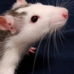 Cause of aging reversed in mice—human trials starting in 2014