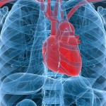 Study finds link between telomere shortening and heart attack risk