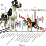 Telomere Length Correlates with Life Span of Dog Breeds