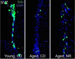 stem-cell-decline-aged-mice